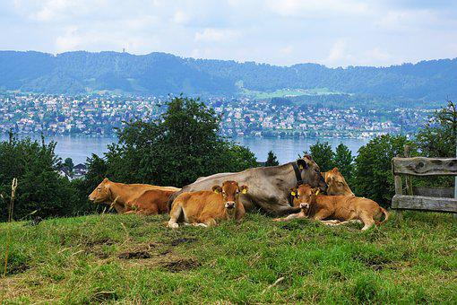 Switzerland, Cow, Mountain, Lake, Meadow, Zollikon