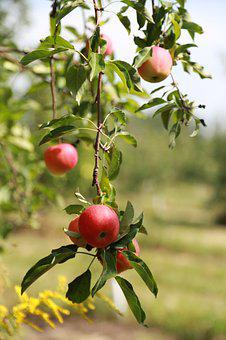 Apple, Apple Tree, Fruit, Orchard, Wood, Nature, Red