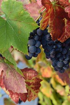 Grapes, Bunch Of Grapes, Autumn, Vineyard, Nature