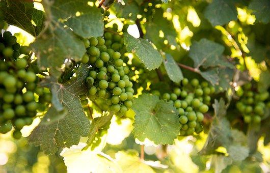 Vineyard, Grapes, Niagara On The Lake, Ontario, Canada