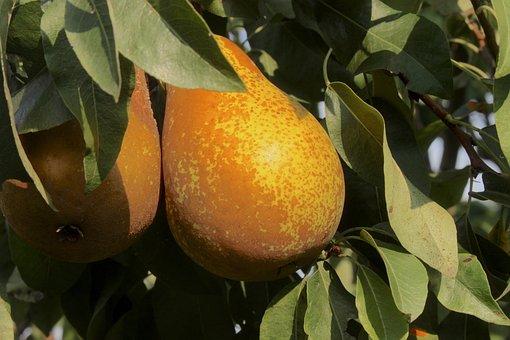 Pears, Fruit, Pear Tree, Sad, Garden, Mature