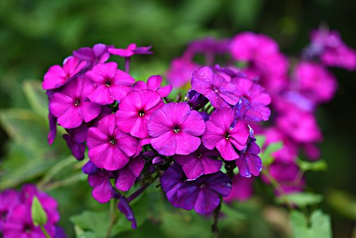 Phlox, Flower, Plant, Blossom, Full Bloom, Summer