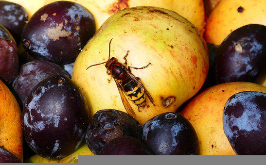 Hornet, Wasp, Insect, Useful, Fruit, Plums, Apple