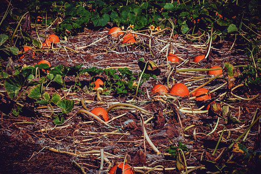 Pumpkin Box, Pumpkin, Field, Autumn, Vegetables, Plant