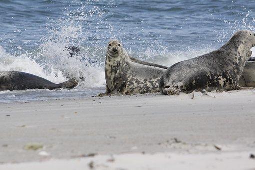 Robbe, Beach, Sea, Dune, Nature, Helgoland, Sand