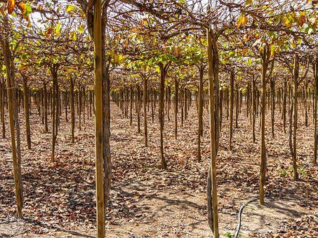 Winegrowing, Vines, Grapes, Rebstock, Roof, Pisco, Peru