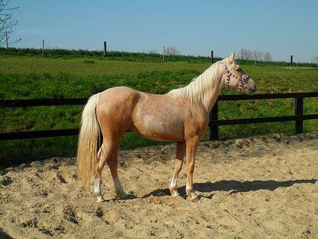 Palomino, Horse, Mare, Career, Sand, Animal