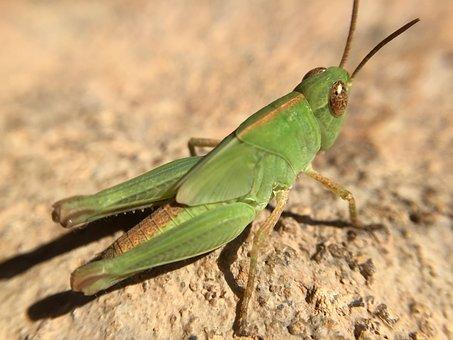 Cricket, Nature, Insect, Grasshopper, Green, Summer