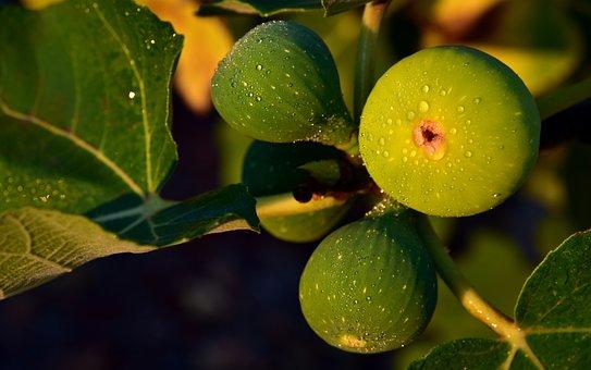 Figs, Fig Tree, Green, Green Figs, Fruit, Sweet