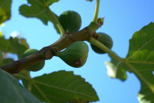 Fig, Fruit, Mediterranean, Healthy, Fresh, Sweet, Plant