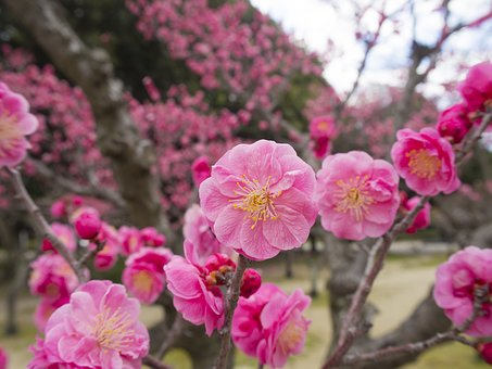 Plum, Flowers, Plum Blossoms, Tree Of Plum, Blossom