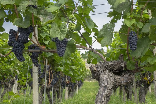 Grapes, Vine, Fruit, Winegrowing, Grapevine