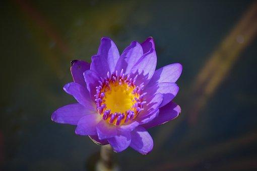 Water Lily, Purple, Flower, Lake