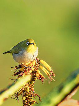 Cape White-eye, Bird, Nature, Wildlife, Yellow, Animal