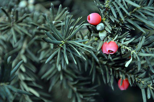 Yew, Needle Green, Infructescence, Berries, Fruits, Red