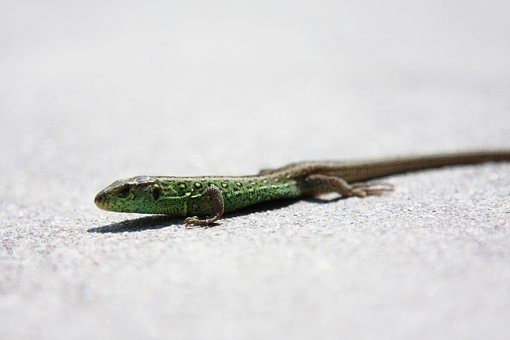 Lizard, Sand Lizard, Nature, Reptile, Animal, Green