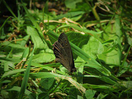 Butterfly, Wood, Nymph, Common, Nature, Animal, Insect