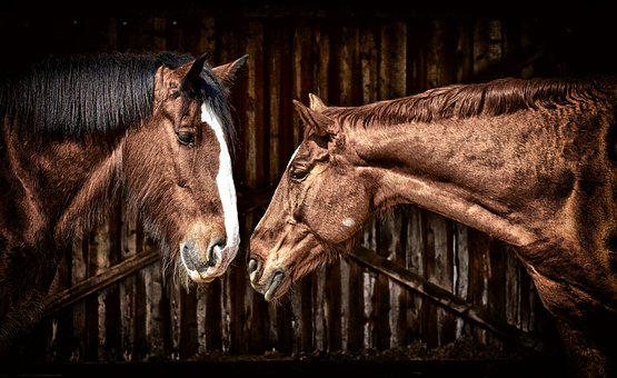Horses, Friendship, Horse Stable, Shire Horse, Animals