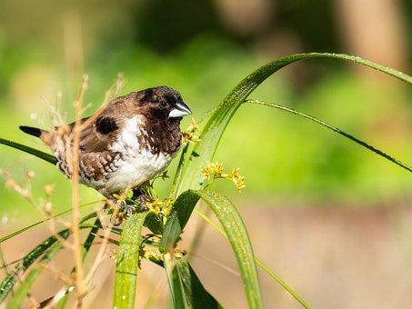 Bronze Mannikin, Bird, Avian, Nature, Sparrow, Animal