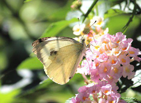 White, Butterfly, Blossom, Bloom, Nature, Summer