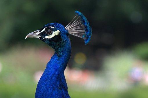 Peacock, Head, Bird, Blue, Feather, Plumage, Iridescent