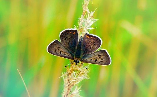 Czerwończyk Uroczek, Insect, Butterfly Day, Animals