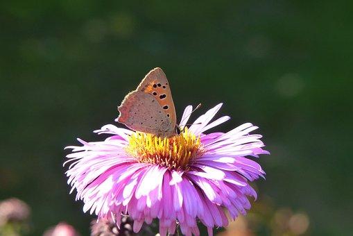 Czerwończyk Varieties, Tom, Insect, Butterfly Day