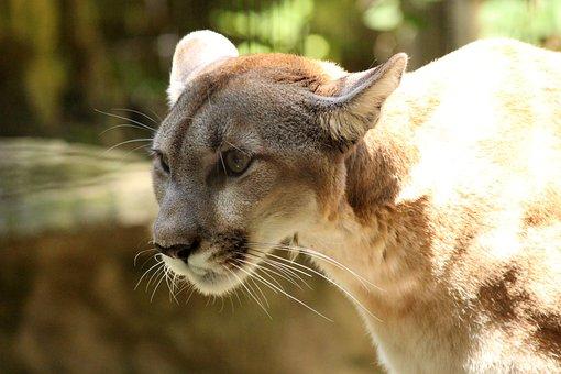 Cougar, Mountain Lion, Wildlife, Feline, Carnivore