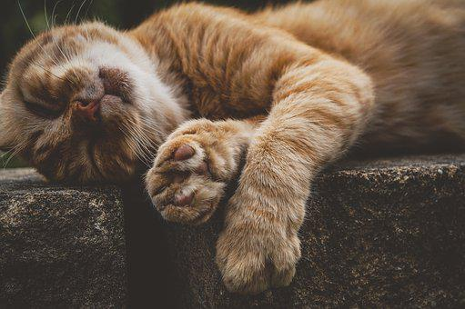Cat, Red Cat, Pet, Animal, Domestic Cat, Animal World