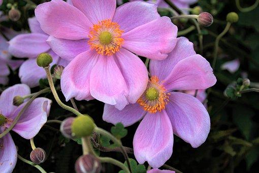 Flowers, Anemones, Plant, Garden, Close Up, Petals