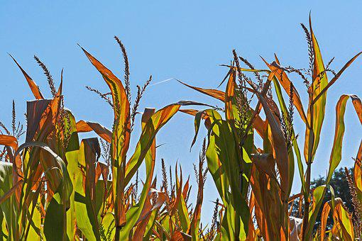 Corn, Corn Plants, Brown, Drought, Late Summer