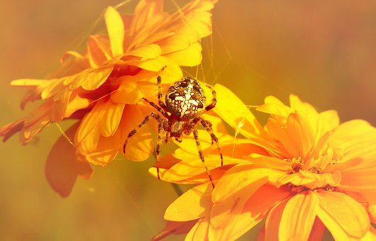 Crusader Garden, Female, Arachnids, Insect, Flower
