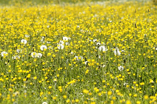 Pointed Flower, Buttercup, Flowers, Meadow, Dandelion