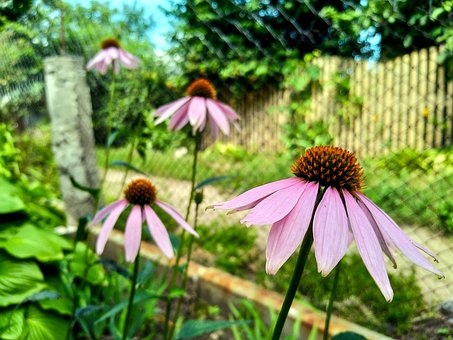 Echinacea, Flowers, Summer, Flora, Bloom, Garden