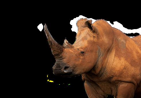White Rhinoceros, Muddy, Isolated, Animal, Eye, Face