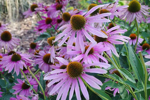 Coneflower, Purple, Enchinacea, Blossom, Bloom, Flower