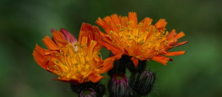 Hawkweed, Blossom, Bloom, Flower, Flora, Orange, Garden