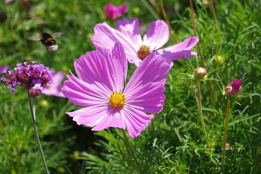 Margarite, Purple, Hummel, Garden, Plant, Flower