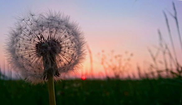 Dandelion, Flower, Meadow, Summer, Sunset, Close Up