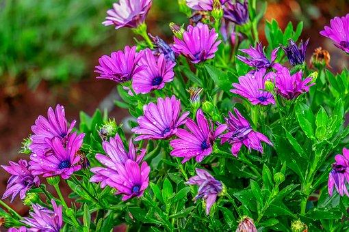 Bornholm Marguerite, Flowers, Bloom, Nature, Pink