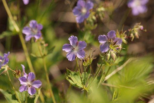 Geranium, Geranium Eriostemon, Flowers