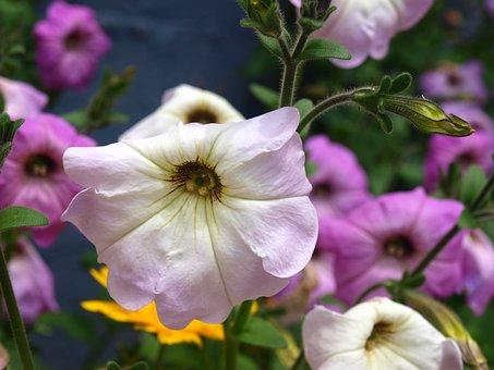 Petunias, Flowers, Flower Petunia, Spring, Summer