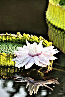 Giant Water Lily, Victoria, Lotus, Lotus Blossom