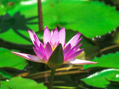 Water Lilies, Aquatic Plants, Summer, Flowering, Green