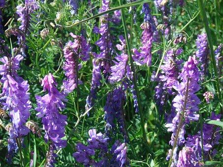 Flowers, Purple, Green, Meadow, Weeds, Grass, Closeup