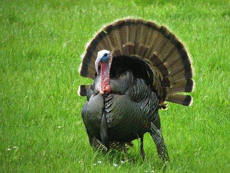 Wild Turkey, Turkey, Grass, Green, Oregon, Summer
