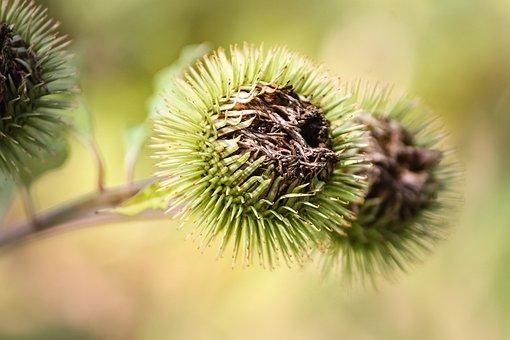 Burdock, Arctium, Flora, Plant, Barb, Hairy, Woolly