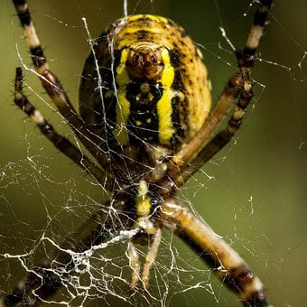 Spider, Animal, Nature, Insects, Animals, Phobia, Hairy
