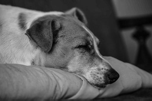 Dog, Sleep, Pet, Animal, Head, Cute, Nose, Sleeping