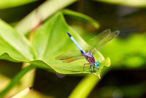Dragonfly, Dragon, Fly, Nature, Insect, Bug, Wildlife